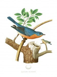 Vintage Eastern Bluebird Illustration