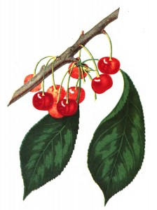 Vintage Illustration - Cherries