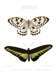 Vintage Illustration - Exotic Butterflies