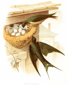 Free Vintage Illustration - Birds and Nest