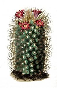 Vintage Botanical Print - Cactus